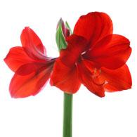 Meaning of amaryllis flowers symbolism of amaryllis flowers for Signification amaryllis