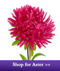 Shop for Aster