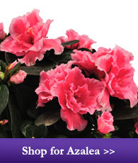 Shop for Azalea
