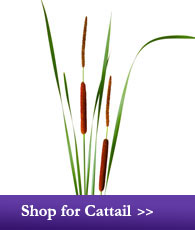 Shop for Cattail