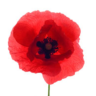 Meaning Of Poppies Poppy Symbolism