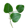 Smilax Leaves
