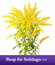 Shop for Solidago