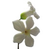 Stephanotis Blooms