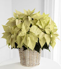 Large White Poinsettia Basket - 8