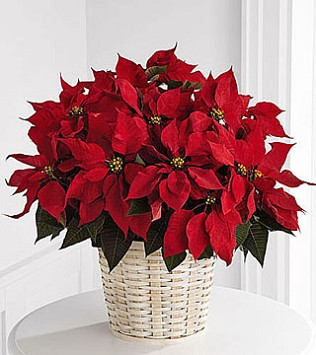 "Large Red Poinsettia Basket - 8"" pot size"