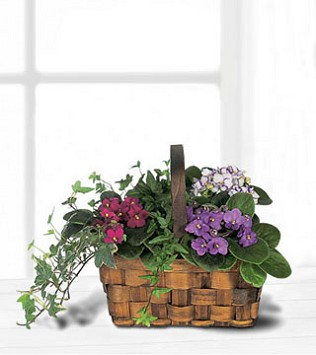 Mixed African Violet Basket