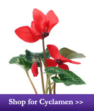 Shop for Cyclamen