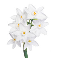 0fd41356a Meaning of Narcissus Plants | Narcissus Plant Symbolism