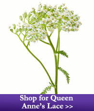 Shop for Queen Anne's Lace