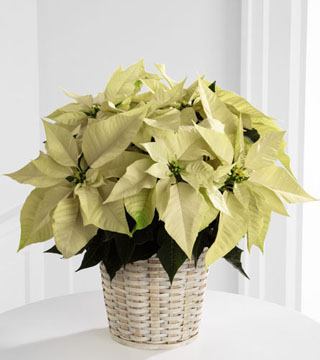 White Poinsettia Basket - 6