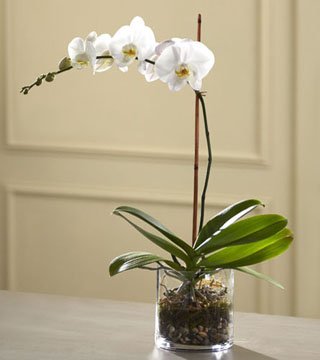 White Orchid in Glass
