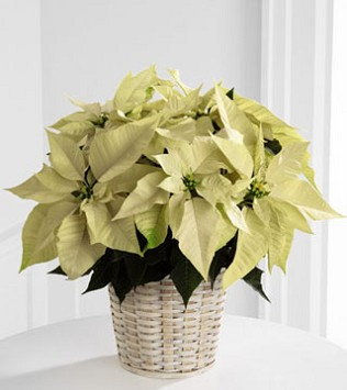 "White Poinsettia Basket - 6"" pot size"