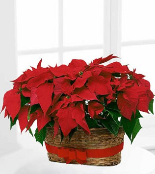 "Double Poinsettia Basket - Two 6"" pot size"